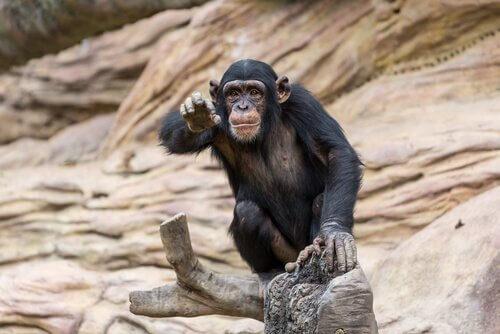 Chimpanzé em seu habitat natural