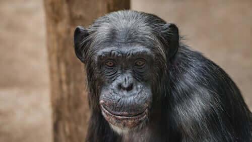 Chimpanzés não são animais de estimação: a história de Travis