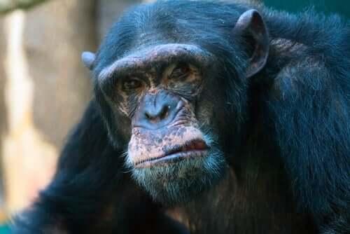Agressividade nos chimpanzés