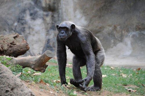 Chimpanzé em zoológico