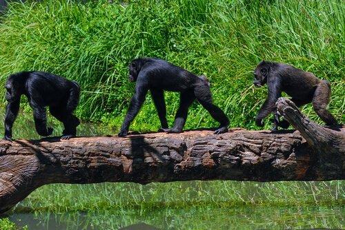 Chimpanzés na selva