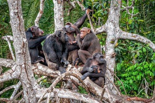 Grupo de chimpanzés em árvore
