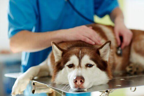 Sintomas da cinomose canina