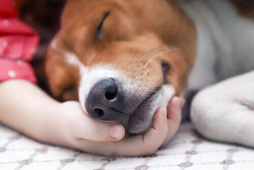 Como a cinomose canina é transmitida