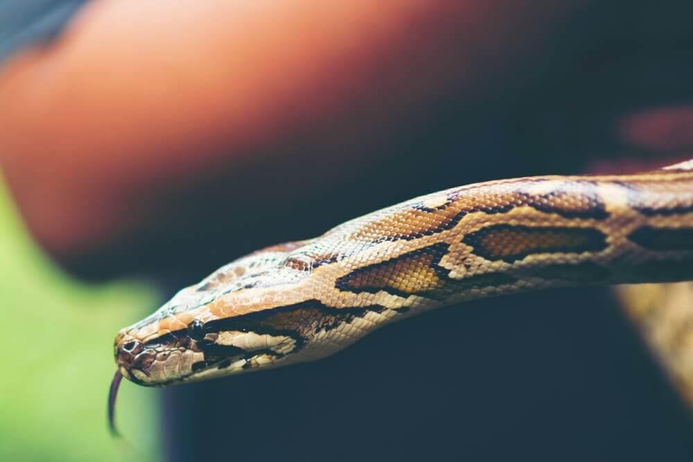 Há riscos em ter cobras como animais de estimação?