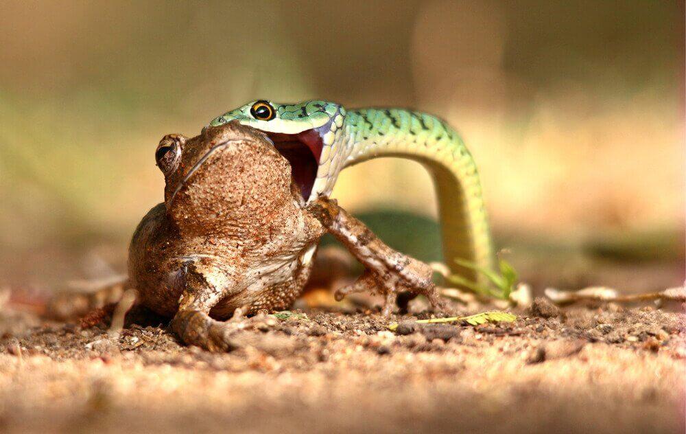 Cobra comendo sapo