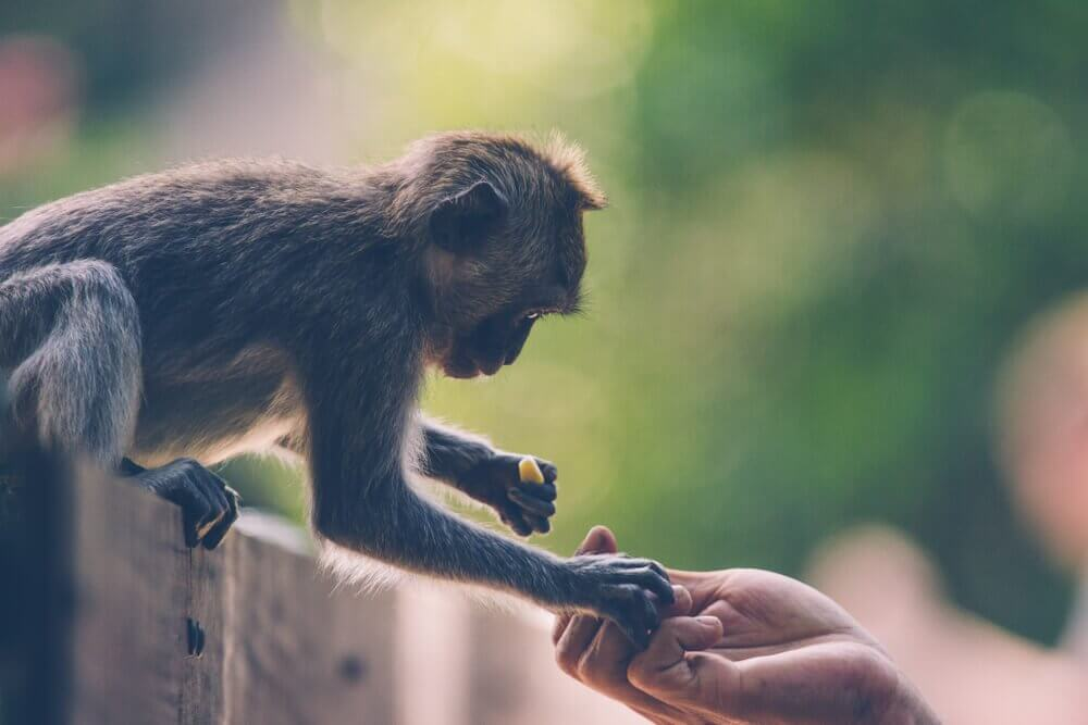 Humano alimentando macaco