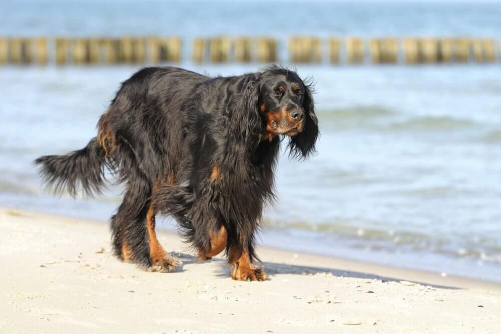 Setter gordon caminhando pela praia