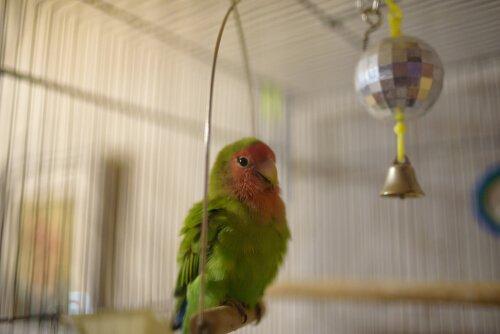 Passos para limpar a gaiola dos pássaros