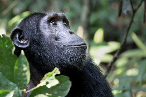 A cultura animal dos chimpanzés
