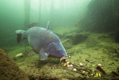 Os primórdios da criação da carpa comum