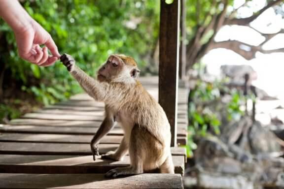 Os macacos roubam por nossa culpa. Saiba mais!