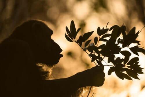 Chimpanzé segurando galho de folhas