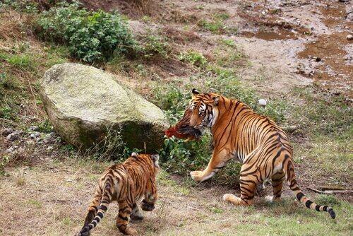 O tigre do sul da China e a caça predatória
