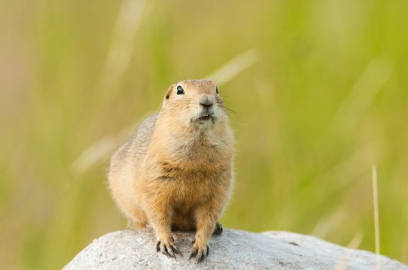 Esquilos de Richardson: características e habitat