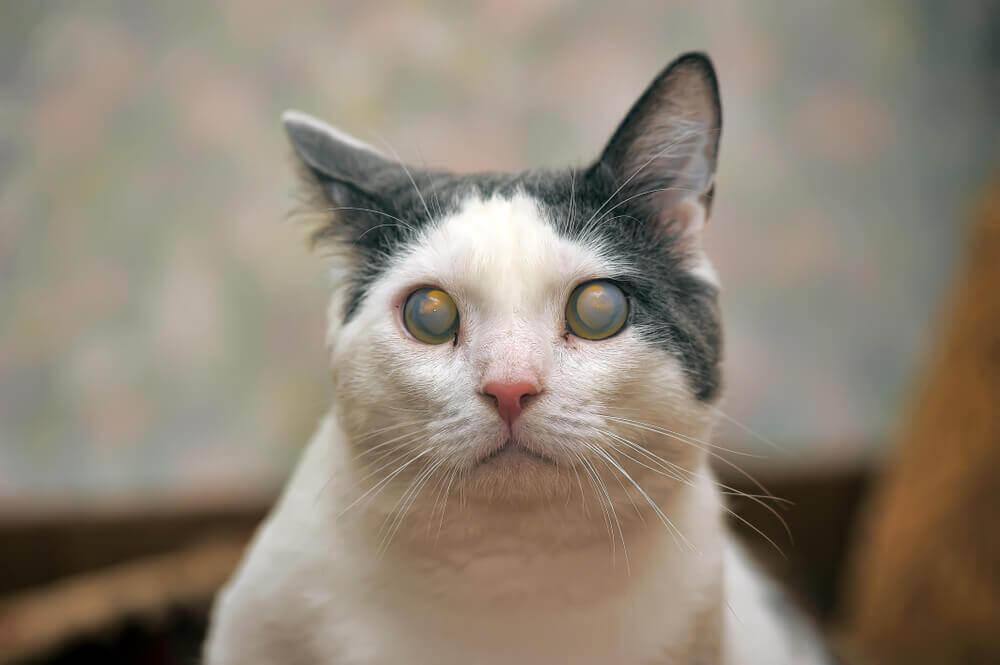 O que é o glaucoma em gatos?