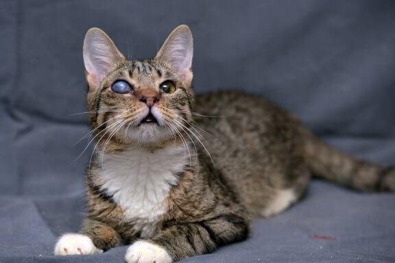 Glaucoma em gatos: causas, sintomas e tratamento