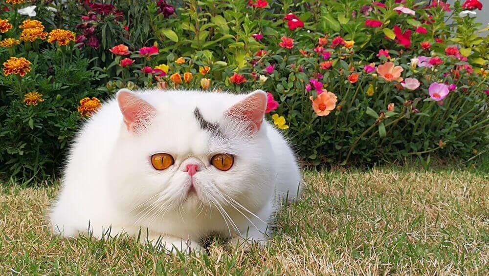 O gato exótico