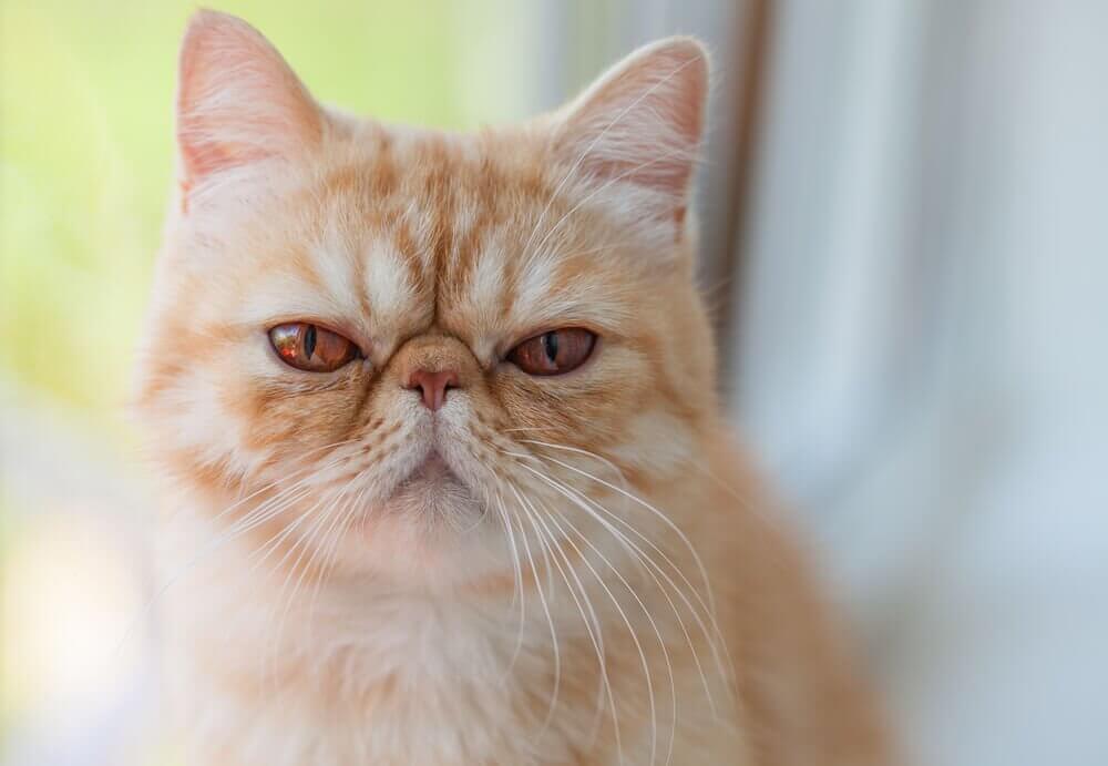 Gato exótico: comportamentos e características