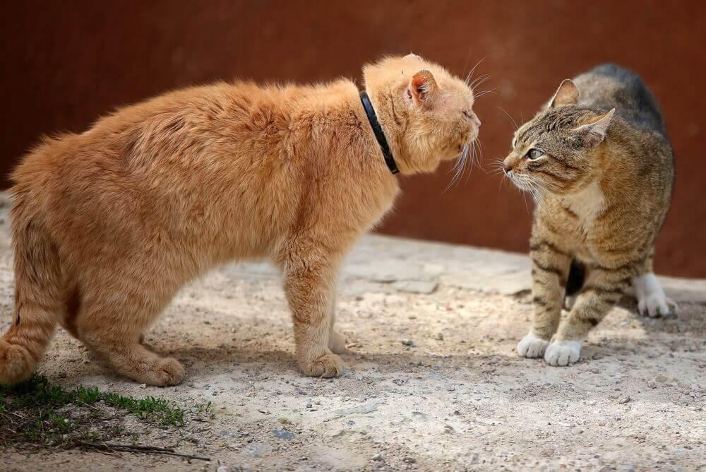 Briga entre gatos