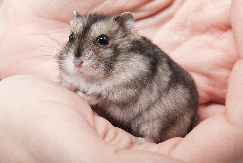 Hamster na mão de seu dono