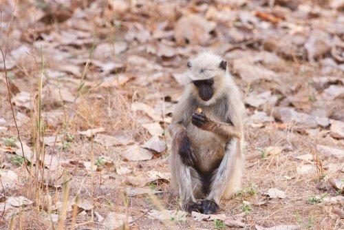 O langur de Hanuman, o deus macaco