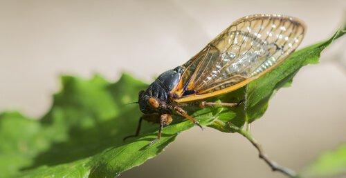 Qual é o inseto mais barulhento que existe?