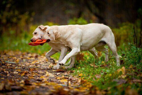 Labradores brincando no campo