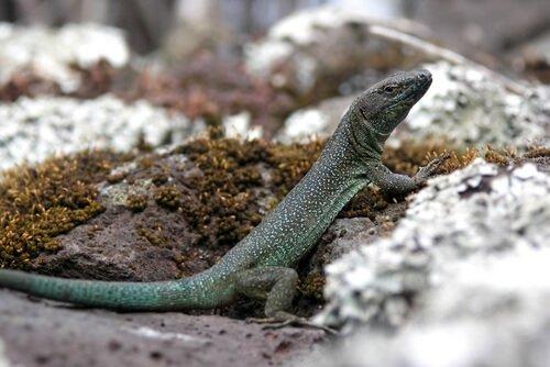 Principais característicasda lagartixa
