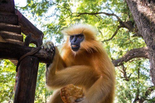 Macaco Langur dourado
