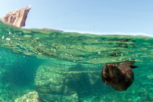 Leão marinho nadando