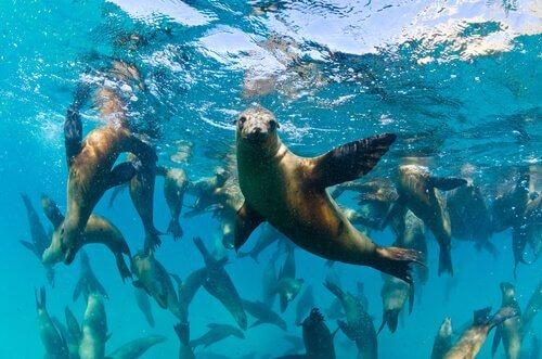 Grupo de leões marinhos no mar