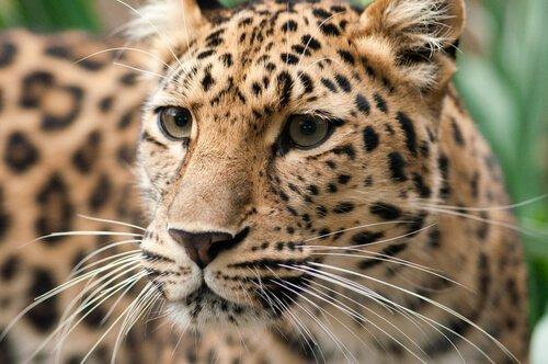 O leopardo-de-amur, o felino mais raro do planeta