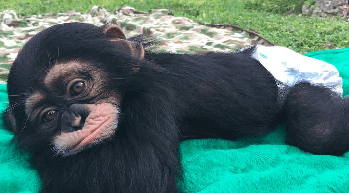 O reencontro de um chimpanzé resgatado com os seus cuidadores não é o que parece