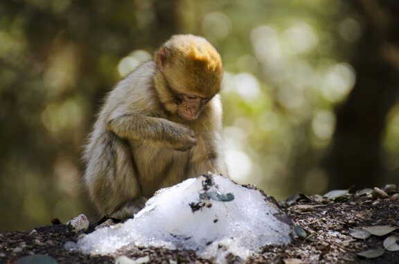 Macacos com mais amigos passam melhor o inverno