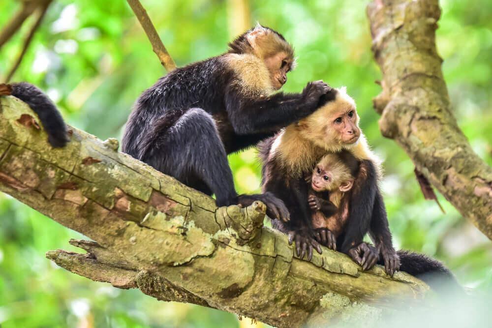 Macaco prego de cara branca em família