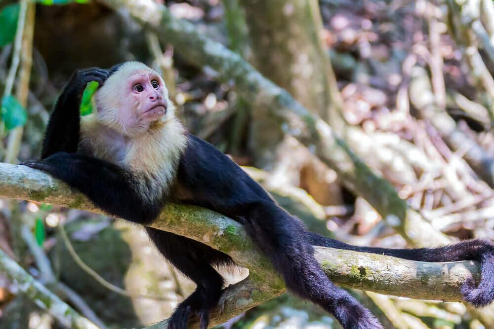 Comportamento e alimentação do macaco prego de cara branca