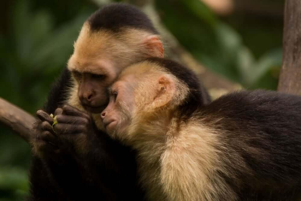 Macaco prego de cara branca