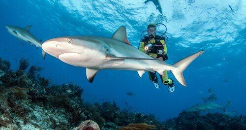 Mergulhar com tubarões: cuidados a considerar