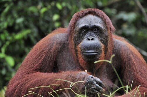Orangotangos são animais com grande inteligência e memória