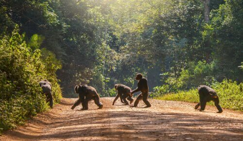 Orangotangos cruzando estrada