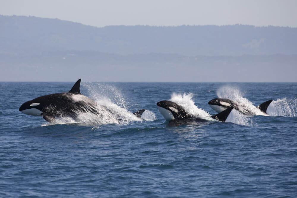 Família de orcas