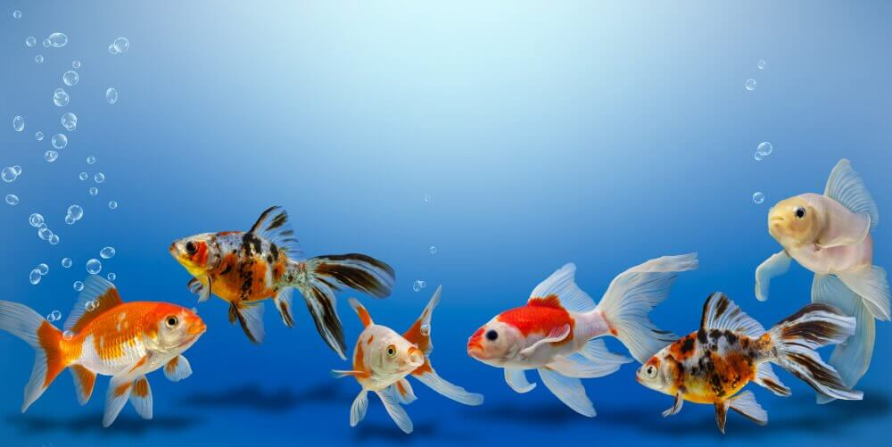 A convivência dos peixes no aquário