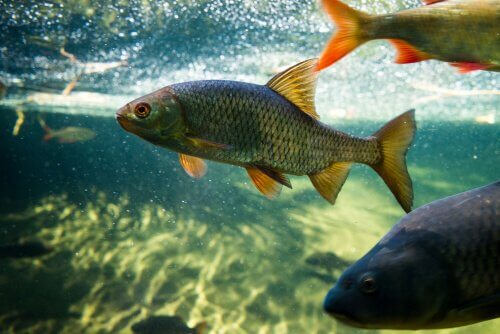 A reprodução da carpa e dos peixes de tanque