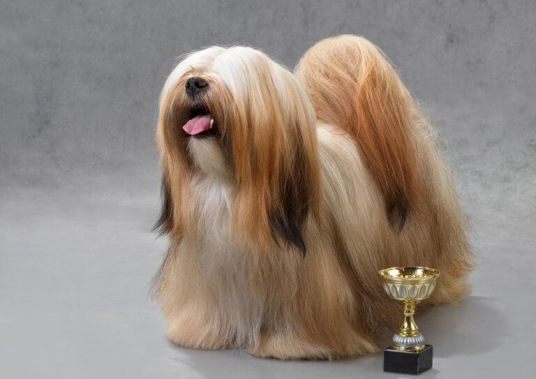 Lhasa apso em concurso de beleza