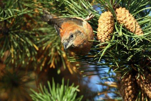 Pássaro em pinheiro