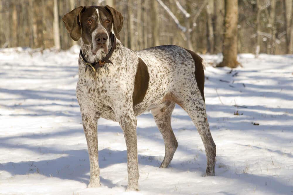 Cão da raça pointer na neve