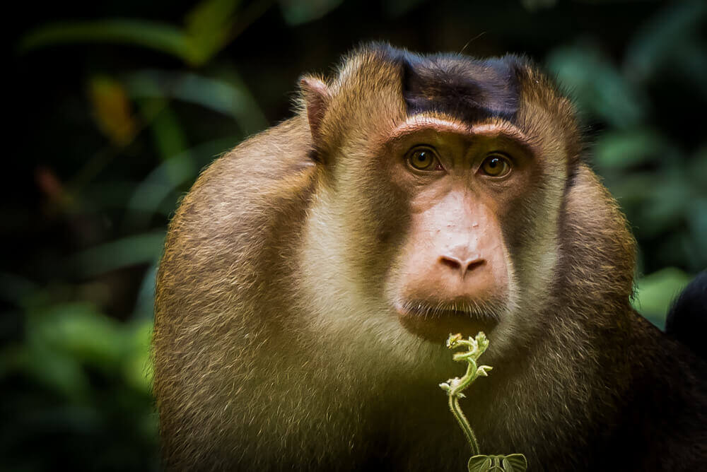 Os primatas da China podem desaparecer