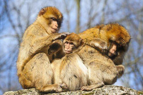 Comportamento dos macacos