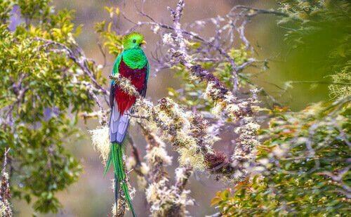 Quetzal, um pássaro ameaçado